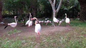 Flamingos in den Kanarischen Inseln stock footage
