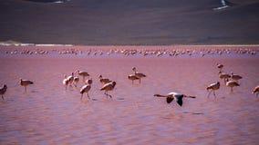 Flamingos in der roten Lagune in Bolivien lizenzfreie stockfotografie