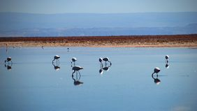 Flamingos in the desert Stock Photos
