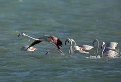 Flamingos, die anstehen, um zu fliegen, Bahrain stockbilder