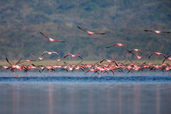 Flamingos, die auf den Fluss in Afrika fliegen Stockfotografie