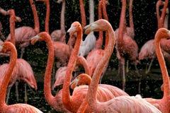 Flamingos, die den Wasserspray genießen Stockfoto