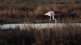 Flamingos, die in eine Mündung einziehen stock video footage