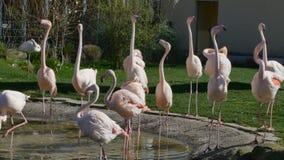 Flamingos, die in Teich singen und gehen stock video footage