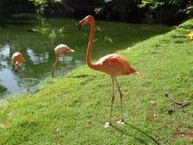 Flamingos, die von der Hand essen Stockfotografie