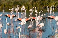 Flamingos, die vorführen Lizenzfreies Stockfoto