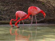Flamingos do duo Foto de Stock