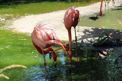 Flamingos in the Drink. Flamingos eating and having a drink at the park Royalty Free Stock Image