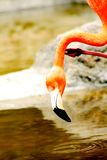 Flamingos drinking Stock Photos