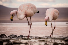 Flamingos drinking from a lake Stock Photos