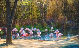 Flamingos drinking water in the stream stock photos