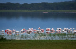Flamingos at Dusk royalty free stock image