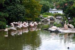 Flamingos e pelicanos no jardim zoológico Imagens de Stock Royalty Free