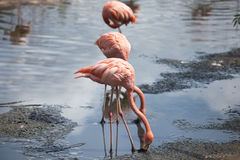 Flamingos eat stock images