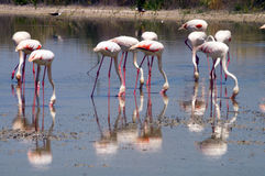 Flamingos eating Stock Image