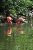 Flamingos Eating Stock Photo