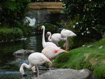 Flamingos. Eating at a pond Royalty Free Stock Image