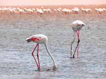 Flamingos eating from shallow water Stock Image