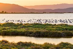 Flamingos in Ebro Delta nature park, Tarragona, Catalunya, Spain. Copy space for text. Flamingos in Ebro Delta nature park, Tarragona, Catalunya, Spain. Copy stock photography