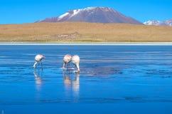 Flamingos- Eduardo Avaroa Andean Fauna National Reserve, Bolivia. Flamingos at the colourful Laguna Celeste Stock Images