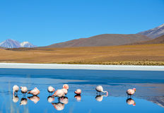 Flamingos- Eduardo Avaroa Andean Fauna National Reserve, Bolivia. Details flamingos at the colourful Laguna Celeste Stock Images
