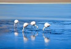 Flamingos- Eduardo Avaroa Andean Fauna National Reserve, Bolivia. Details flamingos at the colourful Laguna Celeste Stock Photos