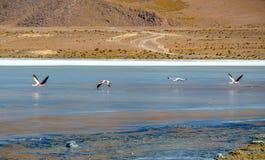 Flamingos- Eduardo Avaroa Andean Fauna National Reserve, Bolivia. Flamingos and their reflections in the water at the colourful Laguna Celeste Royalty Free Stock Image