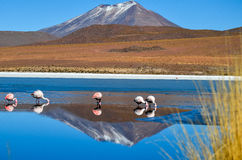 Flamingos- Eduardo Avaroa Andean Fauna National Reserve, Bolivia. Flamingos and their reflections in the water at the colourful Laguna Celeste Stock Image