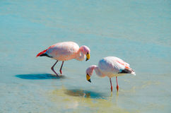 Flamingos- Eduardo Avaroa Andean Fauna National Reserve, Bolivia. Flamingos and their reflections in the water at the colourful Laguna Hedionda Stock Photography