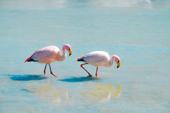 Flamingos- Eduardo Avaroa Andean Fauna National Reserve, Bolivia. Flamingos and their reflections in the water at the colourful Laguna Hedionda Royalty Free Stock Photo