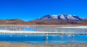 Flamingos- Eduardo Avaroa Andean Fauna National Reserve, Bolivia Royalty Free Stock Photo