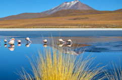 Flamingos- Eduardo Avaroa Andean Fauna National Reserve, Boliviaa. Flamingos and their reflections in the water at the colourful Laguna Celeste Royalty Free Stock Images