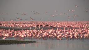 Flamingos in einem See stock video footage