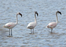Flamingos in einer Reihe Stockfotografie