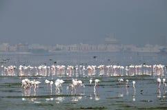 Flamingos in Eker, Fokus auf den hinteren Mengen Lizenzfreies Stockbild