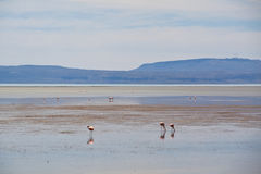 Flamingos in El Calafate, Argentina Stock Photo