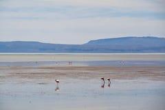 Flamingos in El Calafate, Argentina. Flamingos in the water in El Calafate, Argentina Stock Photo