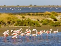 Flamingos em Camargue Imagens de Stock