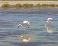 Flamingos em Camargue Foto de Stock