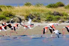 Flamingos em Camargue Foto de Stock Royalty Free