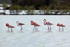 Flamingos em Curaçau Fotografia de Stock Royalty Free