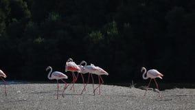 Flamingos em Dubai vídeos de arquivo