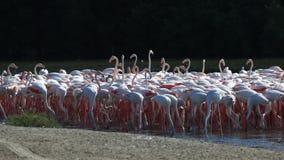 Flamingos em Dubai video estoque