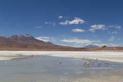 Flamingos em Laguna Hedionda Fotografia de Stock Royalty Free