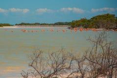 Flamingos em Rio Lagartos Biosphere Reserve, Iucatão, México Imagens de Stock Royalty Free