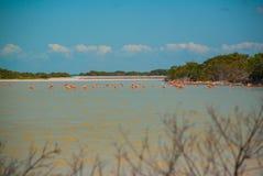 Flamingos em Rio Lagartos Biosphere Reserve, Iucatão, México Imagem de Stock