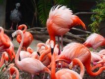 Flamingos em San Diego Zoo California EUA Imagens de Stock Royalty Free