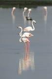 Flamingos em seguido Fotos de Stock