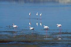 Flamingos em um lago de sal fotos de stock royalty free