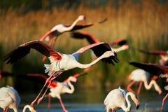 Flamingos em voo Imagens de Stock
